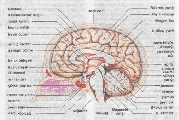 Beyincik sarkması nedir?